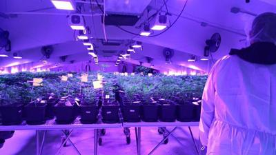 Into the Weeds: An exclusive first look inside a legal marijuana farm