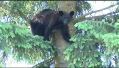 Bear in CdA