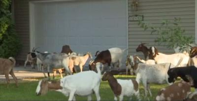 PHOTOS: Escaped goats chow down on lawns in residential Boise neighborhood