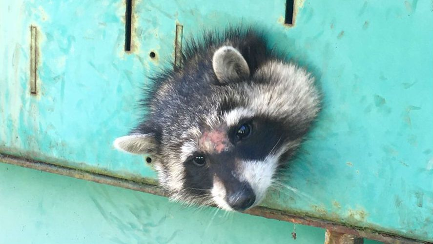 Image of: Rabies Slick Thinking Animal Control Rescues Raccoon Stuck In Generator Slick Thinking Animal Control Rescues Raccoon Stuck In Generator