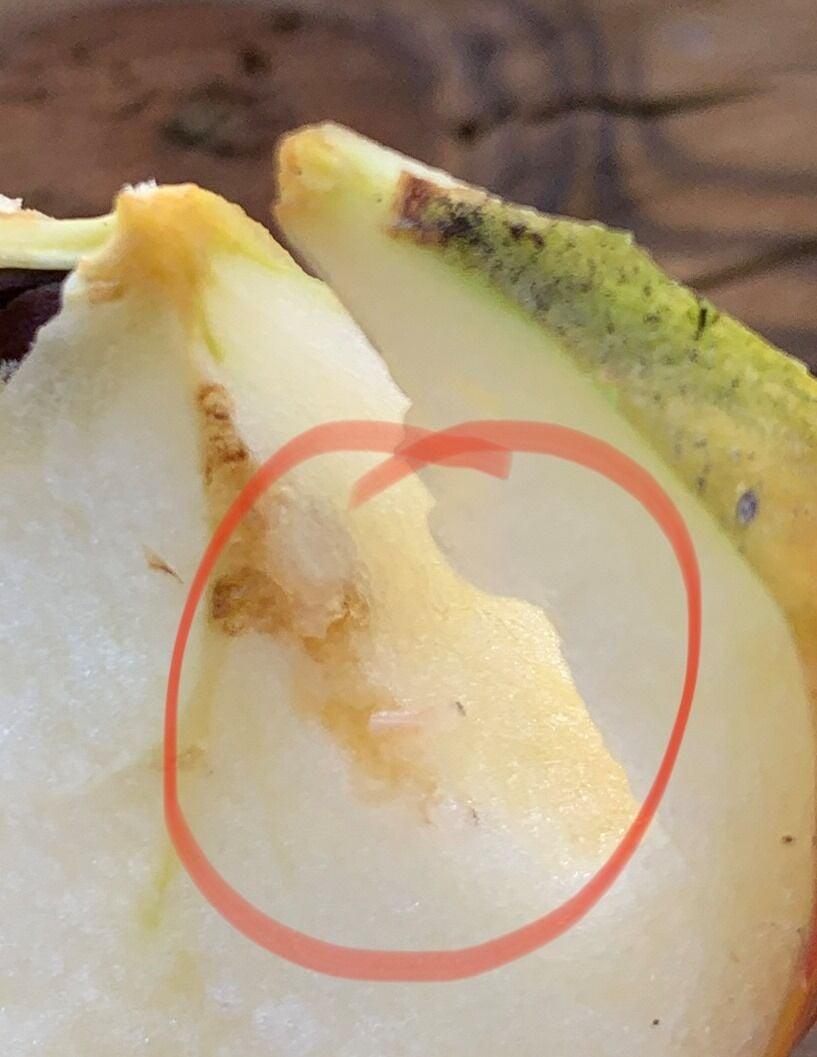 Apples Gov. Inslee gifted to Malden tested positive for apple maggot larvae