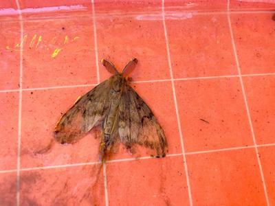Hokkaido gypsy moth