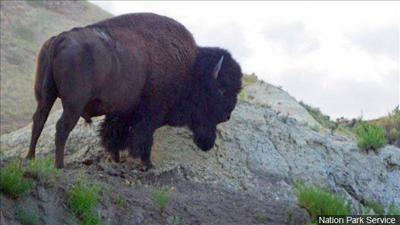 PHOTO: Yellowstone Bison