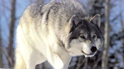 Washington's wolf population surge slows, worrying advocates