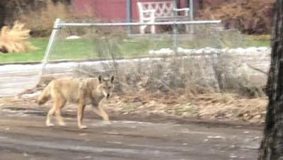 Coyote spotted on South Hill