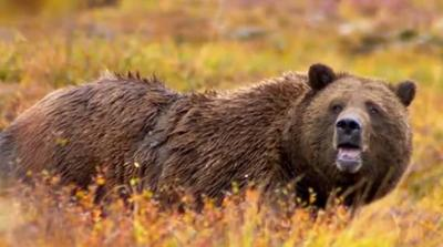 Montana won't hunt Yellowstone grizzly bears in 2018