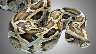 Missing 14-foot-long pet python sought in Indianapolis-area