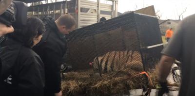 Tiger found