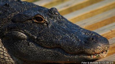 75-year-old Florida man kicks alligator, saves dog