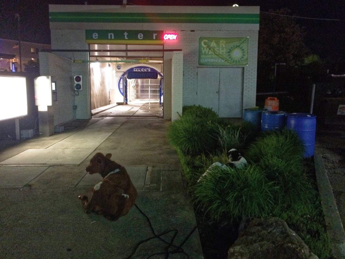 Moo-ve along: Cow loiterers at car wash returned to owners