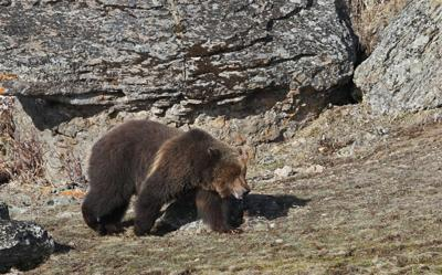 grizzly bear montana fwp