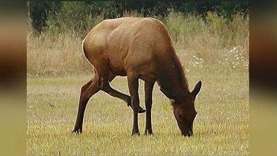 WDFW finds elk hoof disease in eastern Washington, plans to euthanize elk to contain its spread