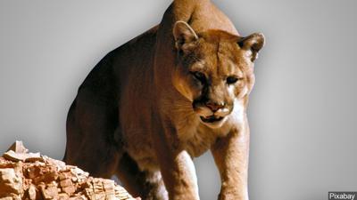generic cougar