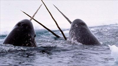 Washington man sentenced for trafficking narwhal tusks