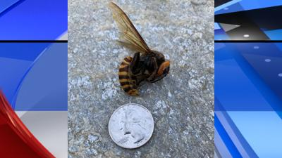 Asian Giant hornet sighting Custer, Wash.