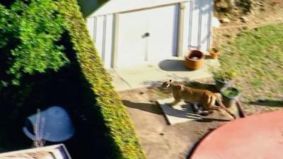 Cat-and-mouse game: Mountain lion roams California backyards