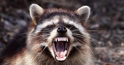 Ohio police investigate reports of 'zombie' raccoons