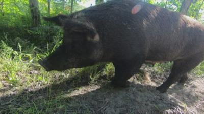 250 pigs escape Vermont farm, most lured back with trail of hot dog buns