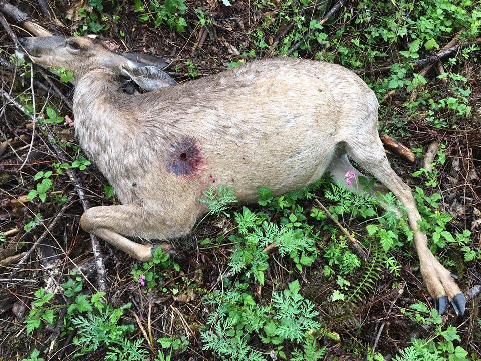 WDFW investigating alleged poaching of pregnant doe