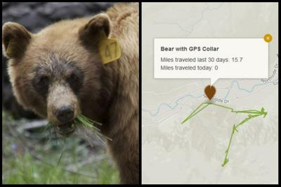 Online bear tracker shows where bears are in Yosemite National Park