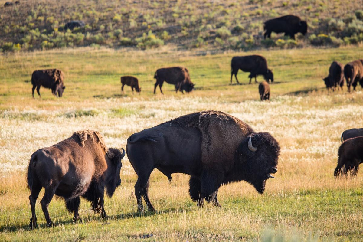 Woman injured after approaching bison in Yellowstone National Park ...