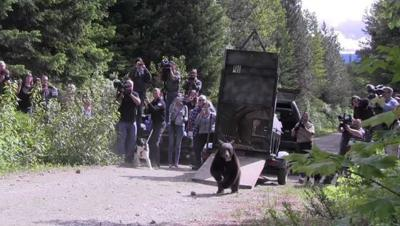 Bear cub badly burned in Carlton Complex wildfire is back in wild