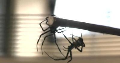 Japanese city holds 'Spider Fights'