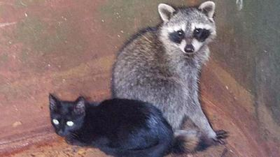 Police officer rescues kitten and raccoon found cuddled inside dumpster