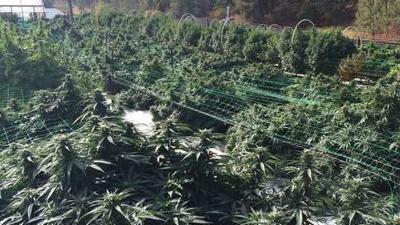 Washington pot harvest begins