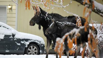 Photos: Moose visit Post Falls neighborhood