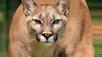 MPD urge caution after mountain lion sighting in the city