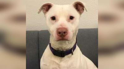 Dog deemed 'unadoptable' becomes first-ever deaf K-9 in Washington state