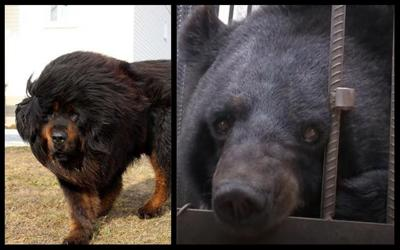 Pet dog raised by family for two years turns out to be black bear