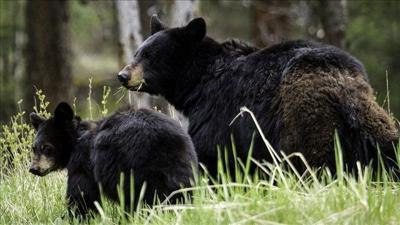 Suit says the state allows bear hunts using banned methods