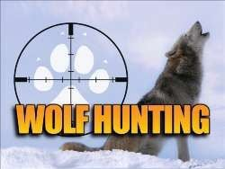 Idaho may phase in wolf hunt quotas
