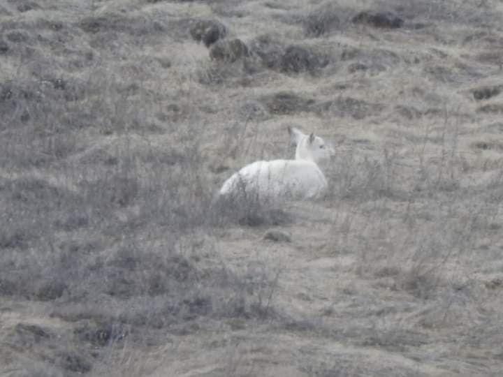 Albino deer spotted east of Lewiston