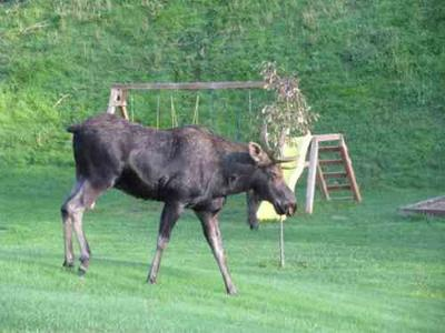 LOOK AT IT: Post Falls Moose Getting National Attention