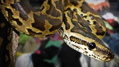 23-foot-long python swallows Indonesian woman | News | khq com