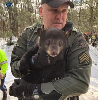 Bears moved in Mass.