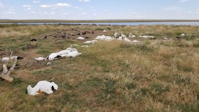 Hail storm kills, maims more than 11,000 birds in Montana