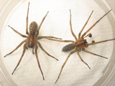 Spiders looking for love as mating season is underway in Spokane