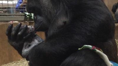 National Zoo welcomes new male lowland gorilla