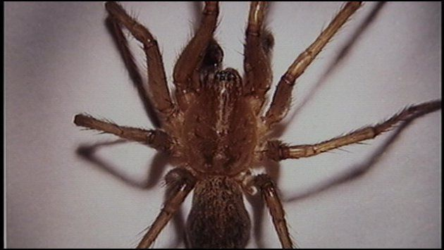 as temperatures fall hobo spiders head indoors news khq com rh khq com