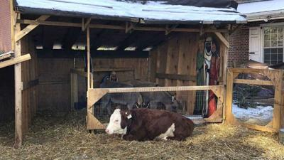 Holy cow! Wandering bovine returned to Philly nativity scene