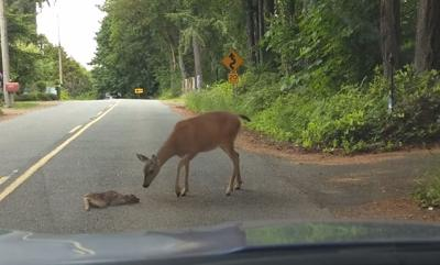HEART MELTING VIDEO: Baby deer is too terrified to cross the street but mama comes to the rescue