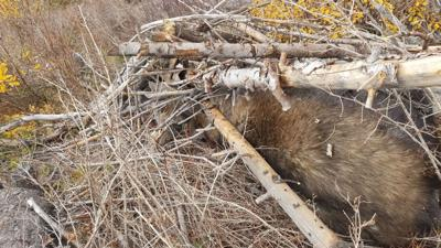 Idaho Fish and Game: Charges filed against suspect in moose poaching case
