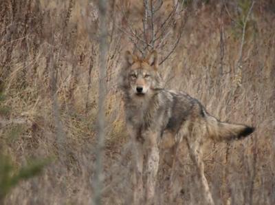 Idaho Senate approves spending $400,000 to kill wolves