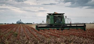 Sorghum harvest taking place in Kleberg County