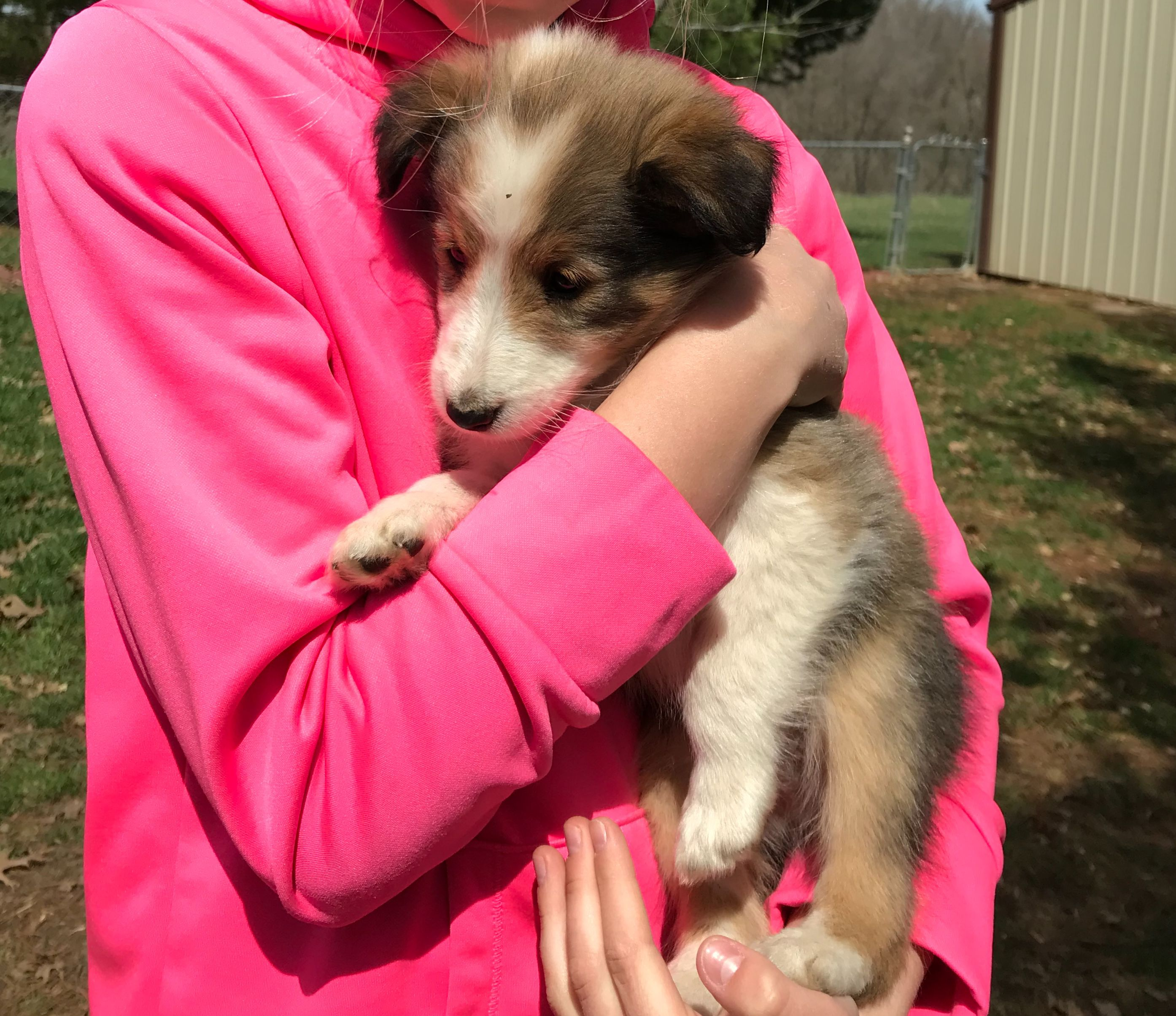 Beautiful male shelties image 1