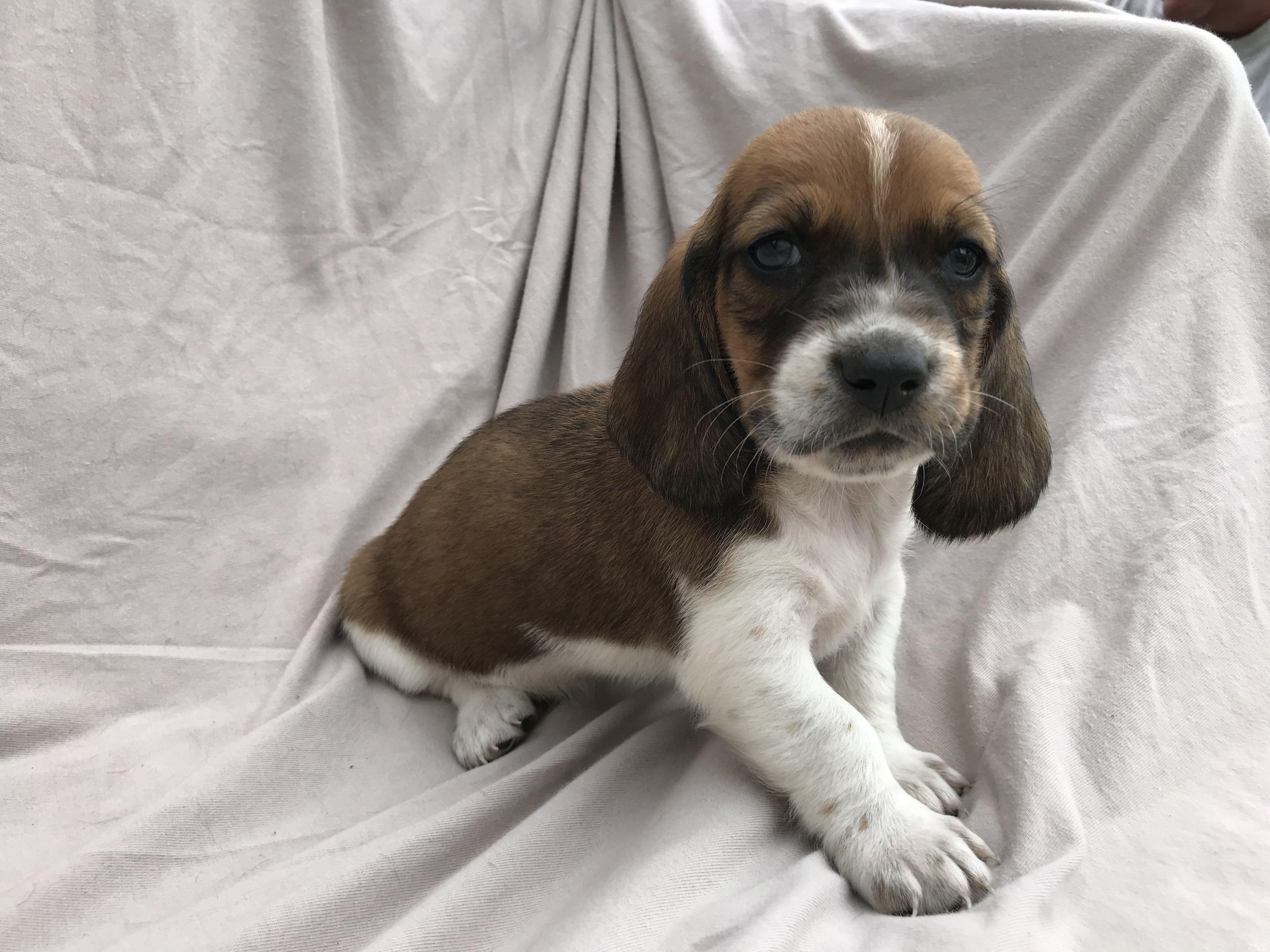 Basset Hound Puppies image 1